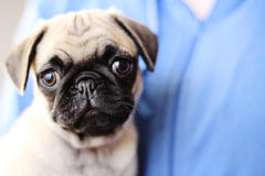 Beautiful pug puppy on blue background Royalty Free Stock Image