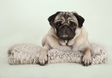 Beautiful pug puppy dog lying down on fuzzy blanket, on pastel background. Beautiful pug puppy dog lying down on fuzzy blanket, on pastel green background Royalty Free Stock Images