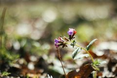 Beautiful pulmonaria lungwort flowers in sunny spring woods. Fresh first pink and blue flowers in sunlight in the forest. stock images