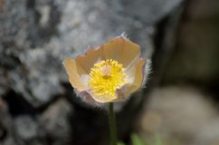 Beautiful pulsatilla patens also know as multifida flower in summer Royalty Free Stock Photo