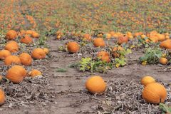 Beautiful pumpkin field full of vibrant orange pumpkins ready fo Stock Photos