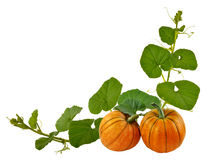 Beautiful pumpkin with leaves on a white background Royalty Free Stock Images