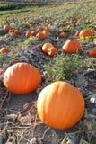 Beautiful pumpkin patch in autumn Royalty Free Stock Photos