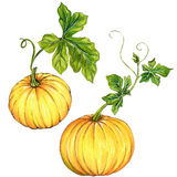 Beautiful pumpkins isolated on white. Vintage style botanical illustrations of pumpkin, kurbis, squash with beautiful leaves. halloween decorations. isolated on Royalty Free Stock Photo