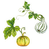 Beautiful pumpkins isolated on white. Vintage style botanical illustrations of pumpkin, kurbis, squash with beautiful leaves. halloween decorations. isolated on Royalty Free Stock Photography