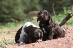 Beautiful puppies of German Quail Dog Stock Photo