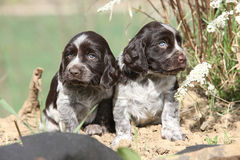Beautiful puppies of German Quail Dog Royalty Free Stock Photo