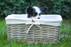 Puppy in a basket on the grass. Beautiful puppies of the Papillon breed in the summer garden stock photos