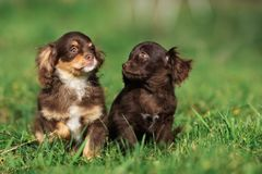Two adorable brown puppies posing on grass Royalty Free Stock Photography