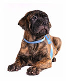 Beautiful Puppy Royalty Free Stock Images
