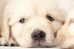 Beautiful puppy Royalty Free Stock Image
