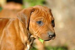 beautiful puppy 库存照片