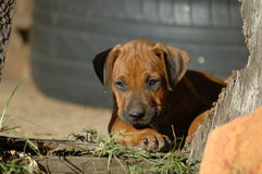 beautiful puppy Royaltyfria Bilder