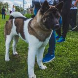 Beautiful Puppy American Akita on the green grass royalty free stock photography