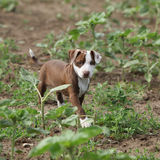 Beautiful puppy of American Pit Bull Terrier Royalty Free Stock Photo