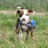 Beautiful puppy of American Pit Bull Terrier. In nature Stock Images