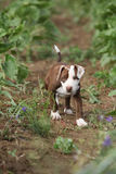 Beautiful puppy of American Pit Bull Terrier Stock Images