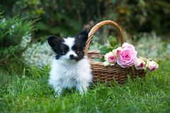 Beautiful puppy with a basket of roses in the garden Royalty Free Stock Photos