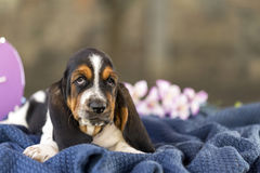 The beautiful puppy of Basset hound with sad eyes lies on the bl Royalty Free Stock Images