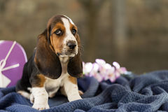 The beautiful puppy of Basset hound with sad eyes and long ears royalty free stock photography