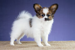 Beautiful puppy of breed papillon Royalty Free Stock Photo