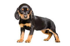 Beautiful puppy breed Slovakian Hound Royalty Free Stock Images