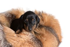 Beautiful puppy Dachshund is sitting on the skin of a raccoon and looking forward royalty free stock photography
