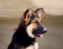 Beautiful puppy dog Shepherd Stock Photo