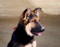 Beautiful puppy dog Shepherd Stock Photo