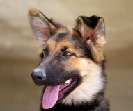 Beautiful puppy dog Shepherd Royalty Free Stock Photos