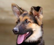 Beautiful puppy dog Shepherd Royalty Free Stock Photos