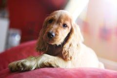 Beautiful puppy English cocker spaniel stock photo