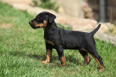 Beautiful puppy of German Hunting Terrier Royalty Free Stock Photo