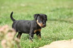 Beautiful puppy of German Hunting Terrier Royalty Free Stock Photos