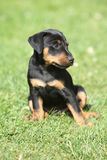 Beautiful puppy of German Hunting Terrier Stock Photography