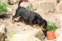 Beautiful puppy of German Hunting Terrier Stock Photos