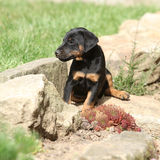 Beautiful puppy of German Hunting Terrier Royalty Free Stock Image