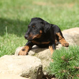 Beautiful puppy of German Hunting Terrier Stock Photo