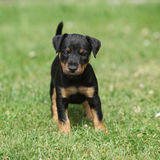 Beautiful puppy of German Hunting Terrier. In the garden Royalty Free Stock Images