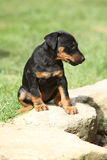 Beautiful puppy of German Hunting Terrier Royalty Free Stock Photography