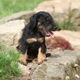 Beautiful puppy of German Hunting Terrier Stock Image