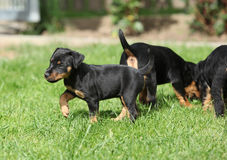 Beautiful puppy of German Hunting Terrier Stock Images