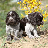 Beautiful puppy of German Quail Dog Stock Photo