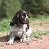 Beautiful puppy of German Quail Dog Stock Images