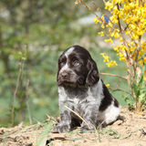 Beautiful puppy of German Quail Dog Stock Photos