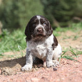 Beautiful puppy of German Quail Dog Stock Photography
