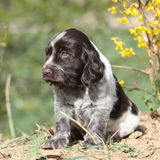 Beautiful puppy of German Quail Dog Royalty Free Stock Images