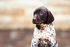 Beautiful puppy German Short haired Pointer Stock Image