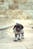 Beautiful puppy German Short haired Pointer. Beautiful puppy German Short hair Pointer Royalty Free Stock Photography