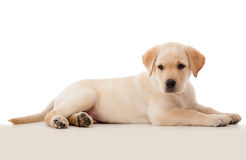 Beautiful puppy laying down Stock Photography